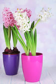 Hyacinth flowers in pots on table on bright background — Stock Photo