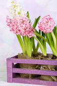 Hyacinth in crate on table on bright background — Stock Photo