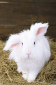 White cute rabbit with apples on hay — Stock Photo