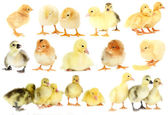 Collage of cute little chickens and ducklings — Stock Photo