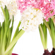 Hyacinth flowers in pots isolated on white — Stock Photo #42756075