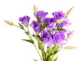 Purple artificial eustoma  isolated on white — ストック写真