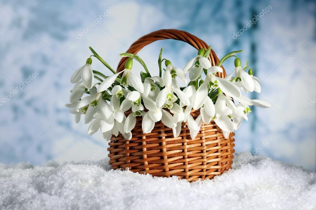 sch ne schneegl ckchen im korb auf schnee auf natur winter hintergrund stockfoto 42755921. Black Bedroom Furniture Sets. Home Design Ideas