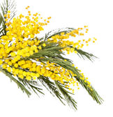 Twigs of mimosa flowers isolated on white — Stock Photo