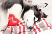 Beautiful cute husky puppy in room — Stockfoto