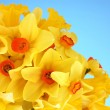 Beautiful yellow daffodils on blue background — Stock Photo
