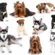Collage of different dogs isolated on white — Stock Photo