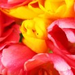 Pink and yellow tulips close-up — Stock Photo #43075461