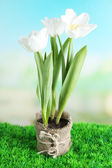 Beautiful tulips in pot  on green grass, on bright background — Foto de Stock