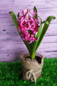 Beautiful pink hyacinth flower on color wooden background — Zdjęcie stockowe
