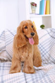 Beautiful cocker spaniel on couch in room — Stok fotoğraf