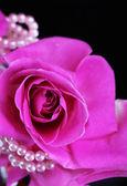 Rosa aislada en negro — Foto de Stock