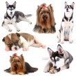 Collage of different dogs isolated on white — Stock Photo #43171111
