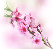 Beautiful pink peach blossom on bright background — Photo