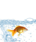 Goldfish in clear water isolated on white — Zdjęcie stockowe