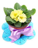 Yellow primrose in  brown pot, on color napkin,  isolated on white — Stock Photo