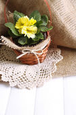 Yellow primrose in  wicker basket, on wooden table, on sackcloth background — Stock Photo
