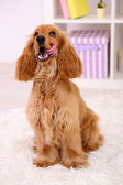 Beautiful cocker spaniel in room — Stockfoto