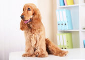 Beautiful cocker spaniel on bright background — Stock Photo