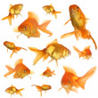 Collage of goldfish in aquarium isolated on white — Stock Photo