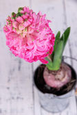Pink hyacinth in bucket on wooden background — Stock Photo