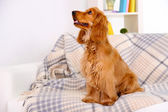 Beautiful cocker spaniel on couch in room — Stock fotografie
