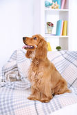 Beautiful cocker spaniel on couch in room — Zdjęcie stockowe