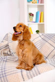 Beautiful cocker spaniel on couch in room — Stockfoto