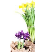 Beautiful narcissus and irises isolated on white — Stock Photo