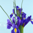 Постер, плакат: Beautiful irises on blue background