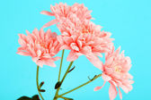 Pink chrysanthemums on blue background — Stock Photo