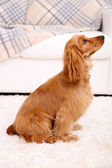 Beautiful cocker spaniel in room — Photo