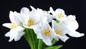 Lindo buquê de tulipas brancas isoladas em preto — Fotografia Stock