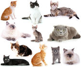 Collage of different cats isolated on white — Stock Photo