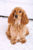 Beautiful cocker spaniel in room — 图库照片