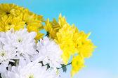 Beautiful chrysanthemum flowers on natural background — Stockfoto
