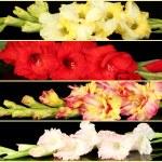 Collage of beautiful gladiolus on black background — Stock Photo #43957917