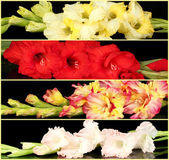 Collage of beautiful gladiolus on black background — Stock Photo