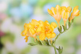 Beautiful freesias on green nature background — Stock Photo