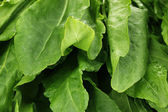 Fresh sorrel close-up — Stock Photo