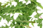 Dandelion leaves isolated on white — Stock Photo
