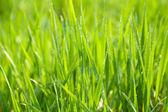 Beautiful spring grass outdoors — Stockfoto