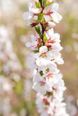 Beautiful fruit blossom, outdoors — Stock Photo