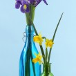 Beautiful irises and daffodils in bottles, on blue background — Stock Photo #44408675
