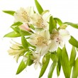 Alstroemeria flowers isolated on white — Stock Photo #44412187