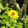 Little ladybug on dandelion in grass — Stock Photo #44416513
