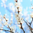 Blooming apricot tree twigs in spring close up — Stock Photo #44416539