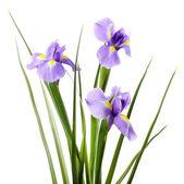 Beautiful iris flower isolated on white — Stock Photo