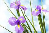 Beautiful iris flower on bright background — Stock Photo
