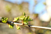 Spring buds on twigs close up — Stock Photo